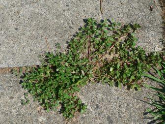 purslane in sidewalk